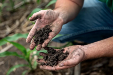 two handfuls of healthy soil from corn fields