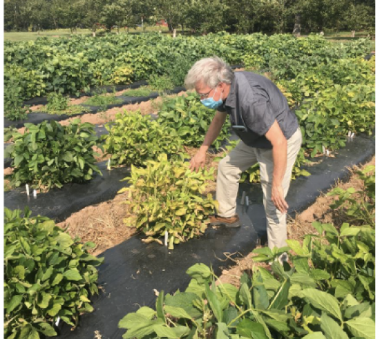 man looking at row of soybeans
