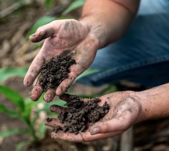 two handfuls of healthy soil from corn fields